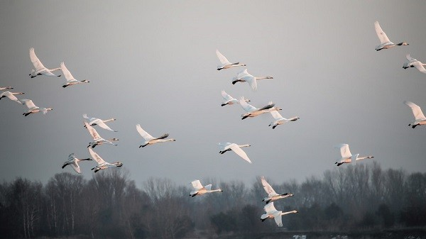 Flight-Grey-Swans-Birds-Slurry-Fog-2073506